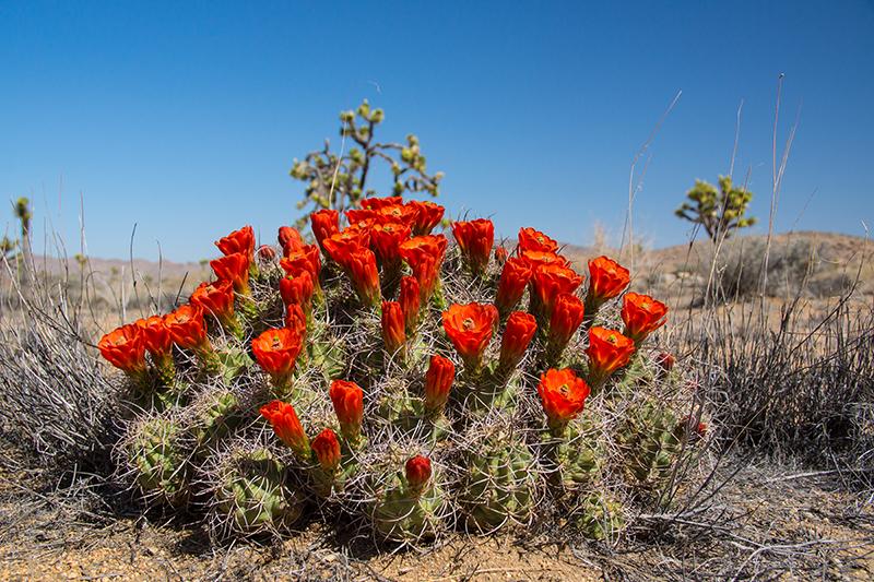 Kaktus in Rot